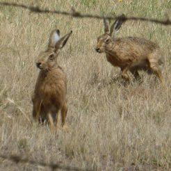 European Hare, Whittlesea