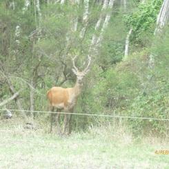 Sambar Deer Dunnetts Road