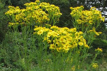 Icon_Ragwort