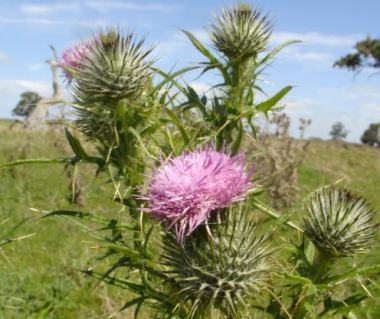 Icon_Spear_Thistle