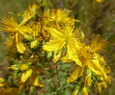 Icon_St_Johns_Wort