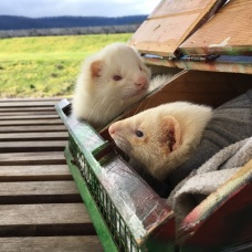 Ferrets get the job done