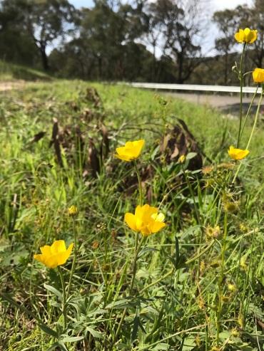 Australian Buttercup