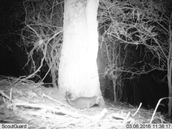 Tuan (Brush-tailed Phascogale)