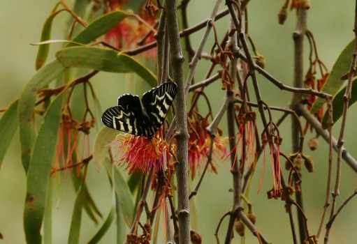 Mistletoe Butterfly