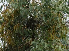 Nest in Mistletoe